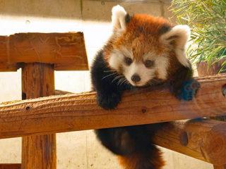 サイバーショット『DSC-RX10M4』で撮るレッサーパンダの赤ちゃん in 埼玉県こども動物公園