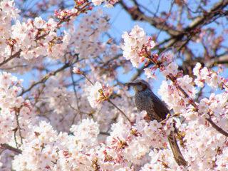 4/6 日比谷公園 桜と野鳥撮影会【中止のご案内】