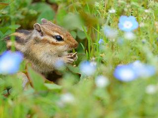 動物瞳AFで撮影する『赤ちゃんシマリス』